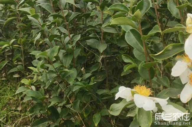 珠龙镇湘林油茶苗最出