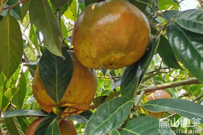 福建大果油茶树