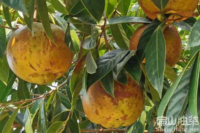 恭城大果油茶树
