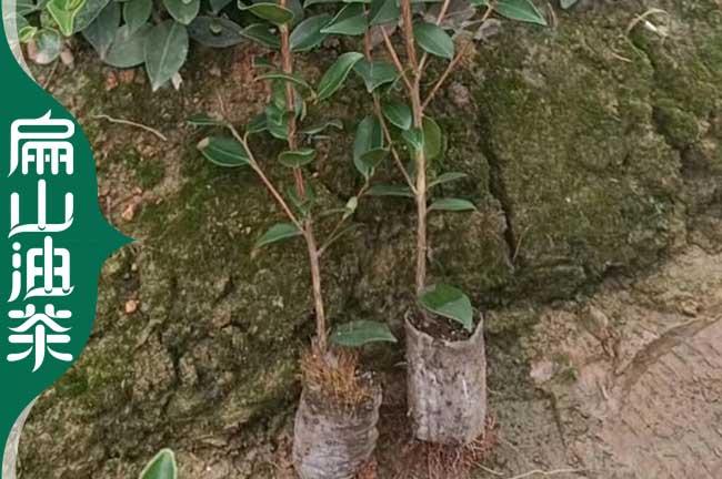油茶种植肥料