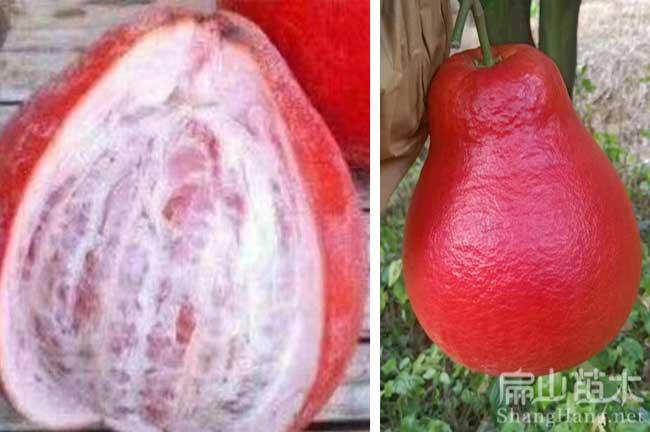 福建红皮柚子种植