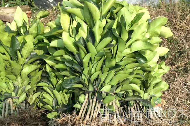 桔子苗种植