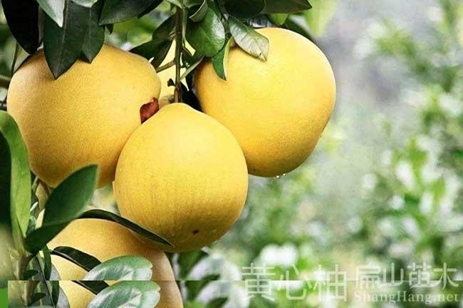 广西大型柚子种植