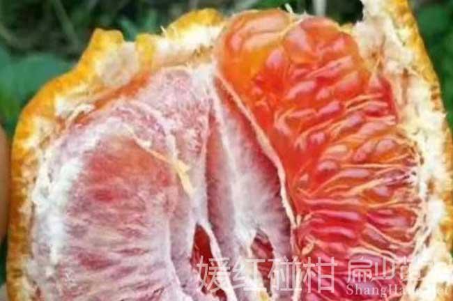 南宁红皮柚子树