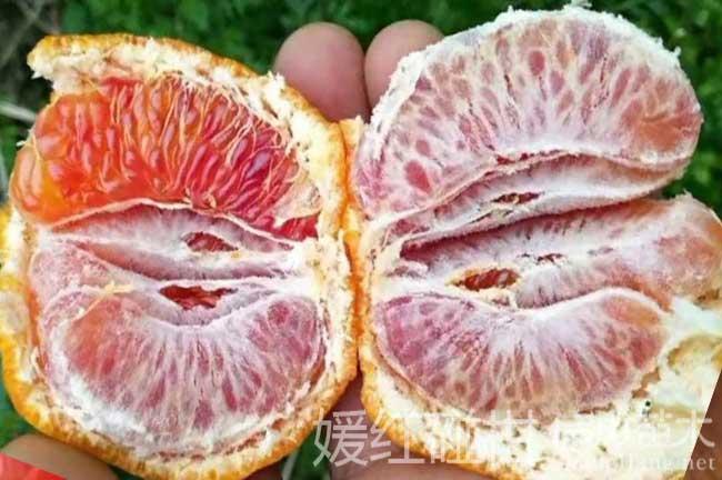 碰橘子树种植