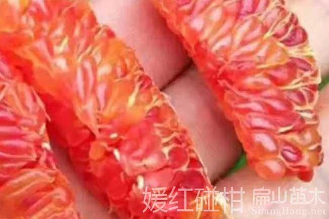 橘子树苗基地