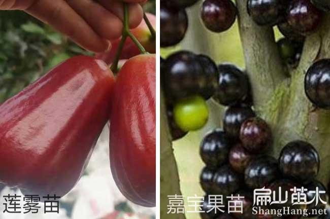 福建水果苗培育