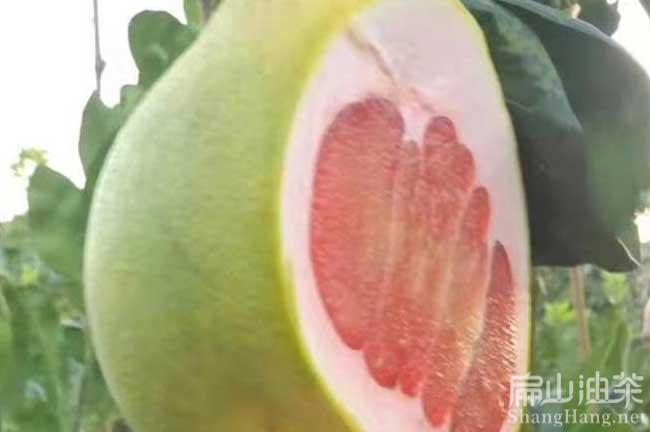 龙岩柚子苗批发