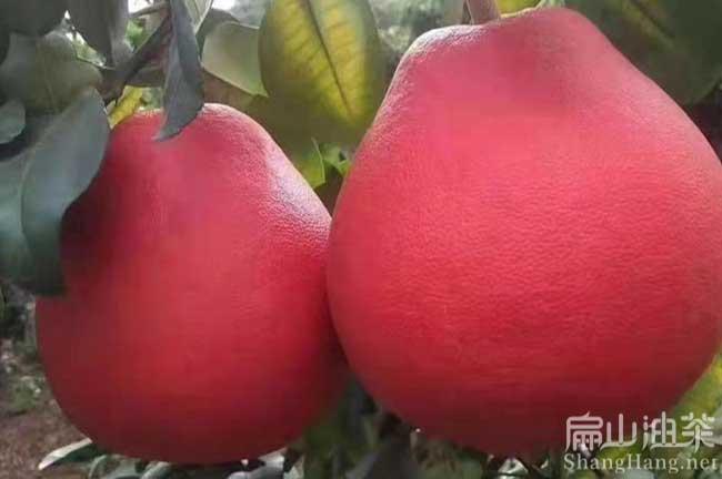 福建柚子批发