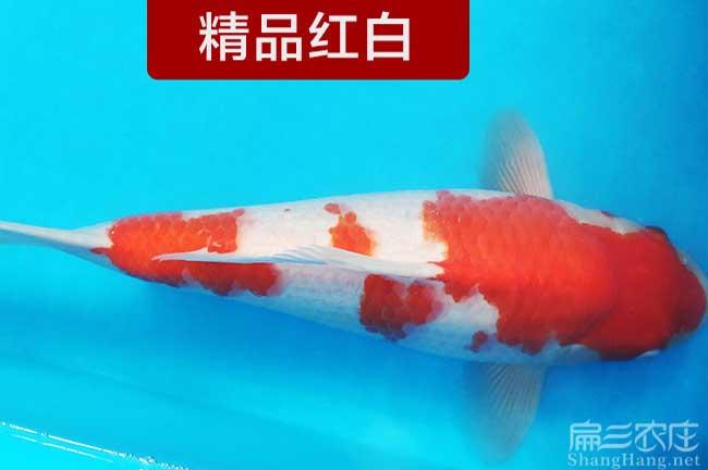 福建观赏鱼苗
