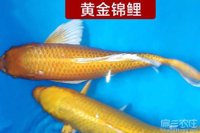 漳州鲫鱼批发