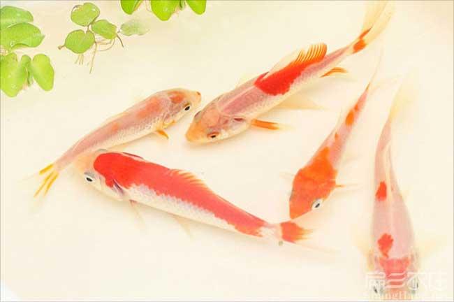 福建红锦鱼苗