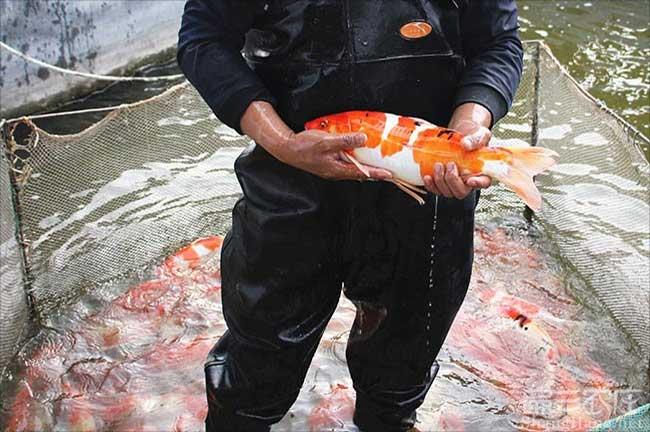 漳州观赏鱼批发
