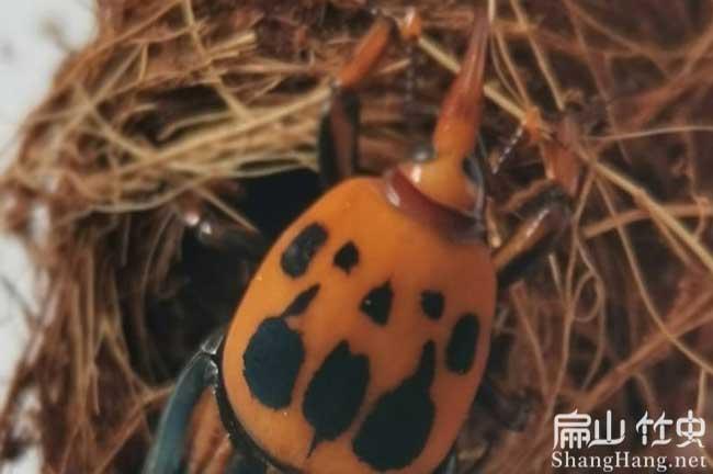 海南竹虫养殖