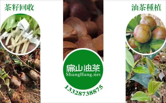 鹰潭油茶基地