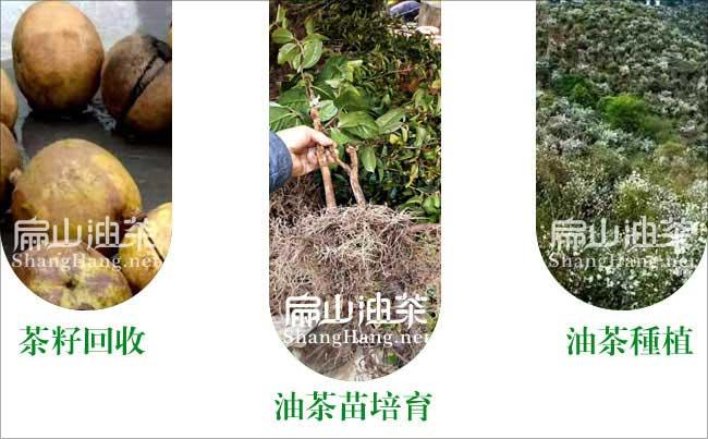 容县油茶之乡