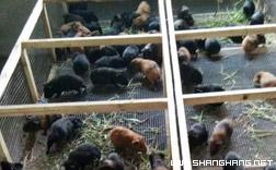 五指山黑豚养殖