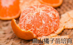 橘子苗批发