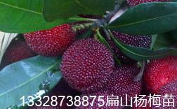 渝北区杨梅苗种植基地