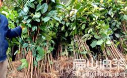 红花大果油茶苗基地