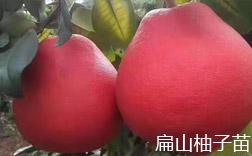 柚子苗批发