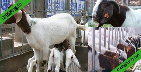 波尔山羊苗现养殖技术培训 波尔山羊种场培训及价格