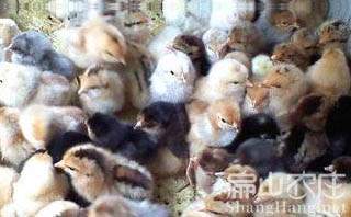 最好的土鸡苗孵化基地