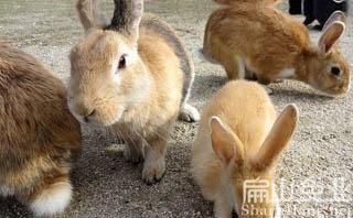 黄毛兔子苗