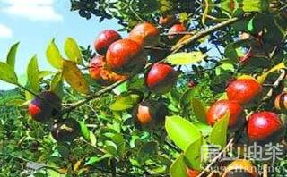 桂林油茶基地