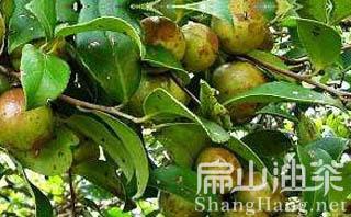 高产油茶种植
