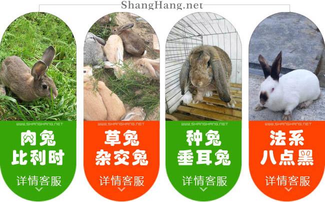 四川种兔繁殖