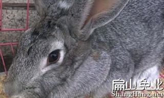 比利时种兔批发