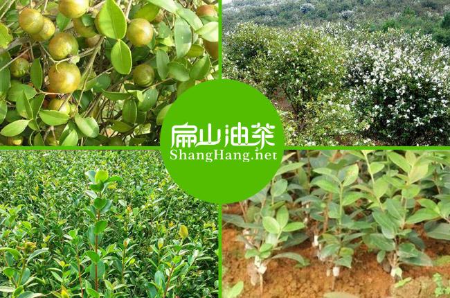 浙江油茶基地