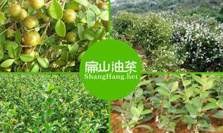 油茶树规模种植