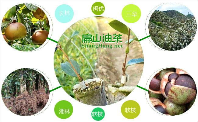 中国扁扁山油茶基地