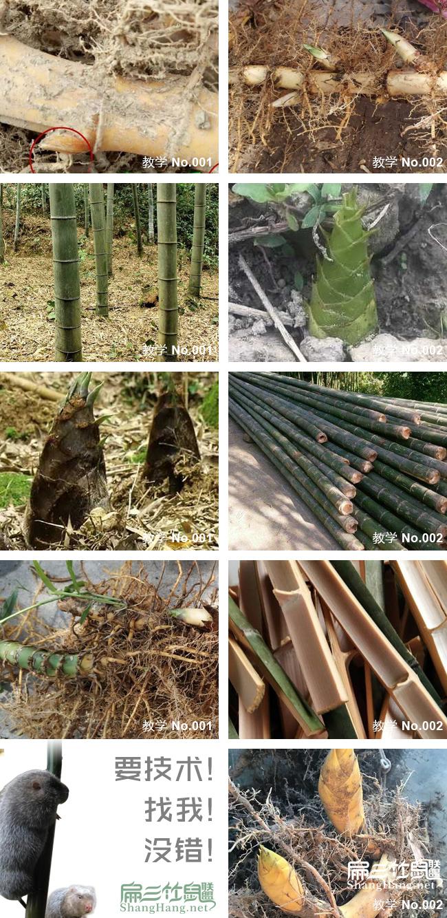 看竹子品种